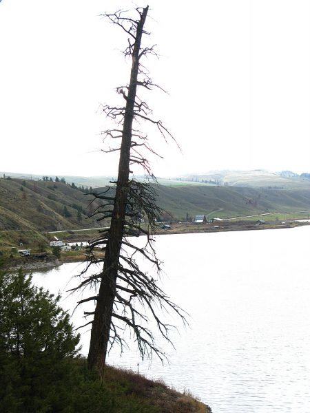 Lincoln Clarkes Photographs: Dead pine tree, Nicola Valley, British Columbia 2008