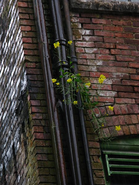 Lincoln Clarkes Photographs: Yellow flowers, Downtown Eastside, Vancouver 2008