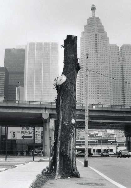 Lincoln Clarkes Photographs: Maple tree, Toronto 1992