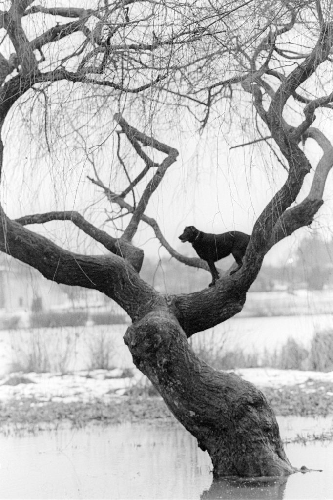 Lincoln Clarkes Photographs: Tree dog, Vancouver 1997